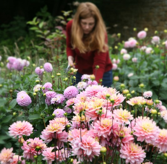 Cutting pink dahlia flowers in the field.