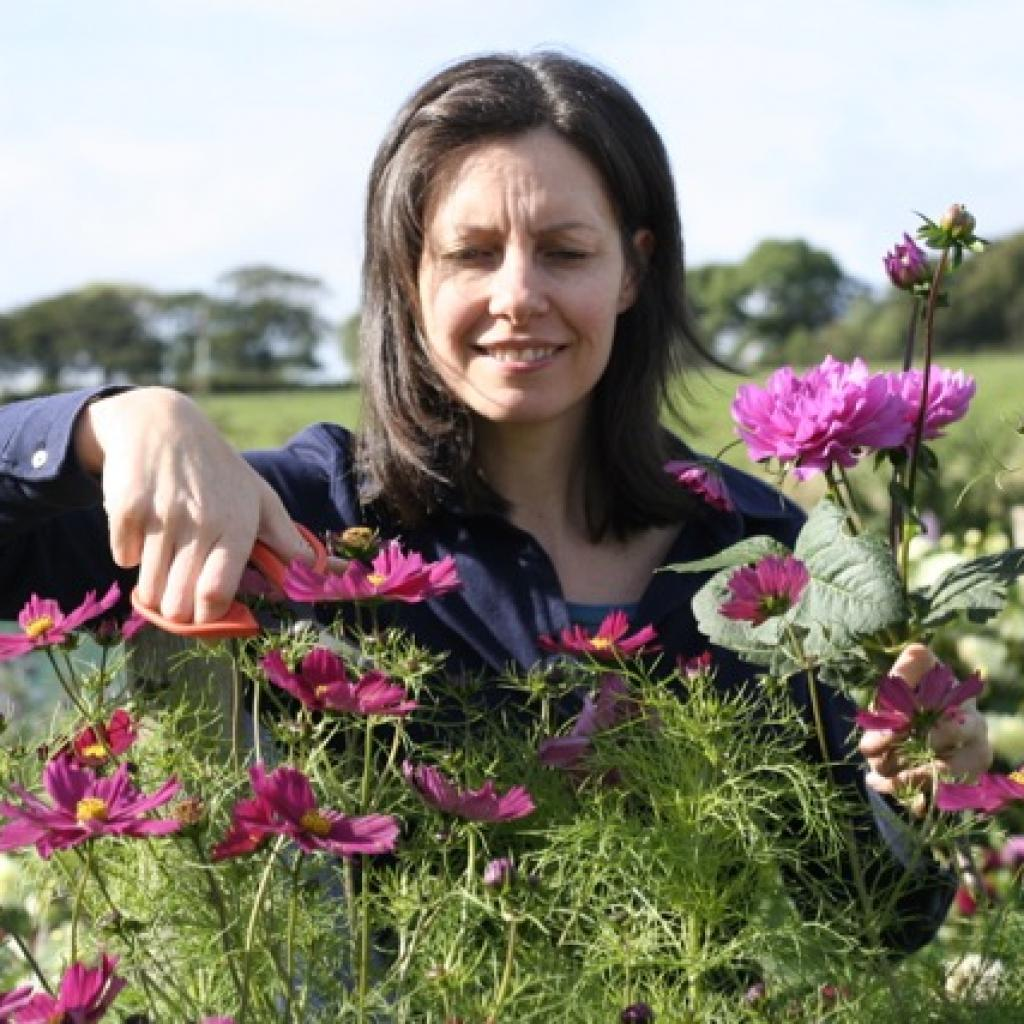 Andrea of Mayfield Flowers cuts cosmos on her Scottish flower farm