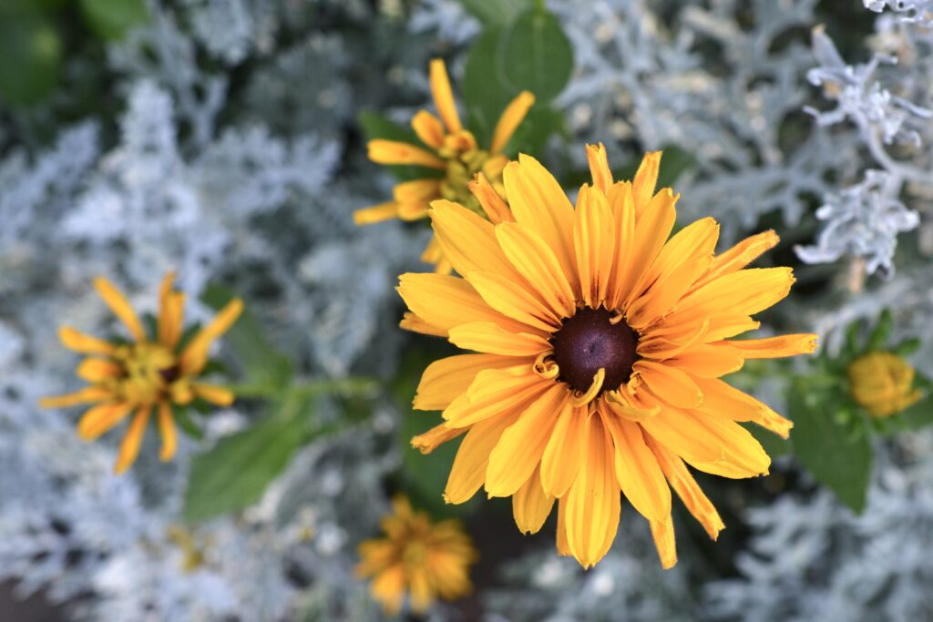 A yellow rudbeckia flower blooming against a background of dusty miller