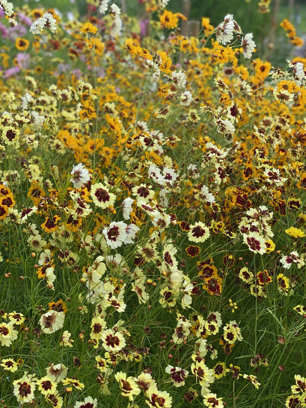 Yellow and white Coreopsis flowers blooming at Drowsy Bee Flowers in Suffolk