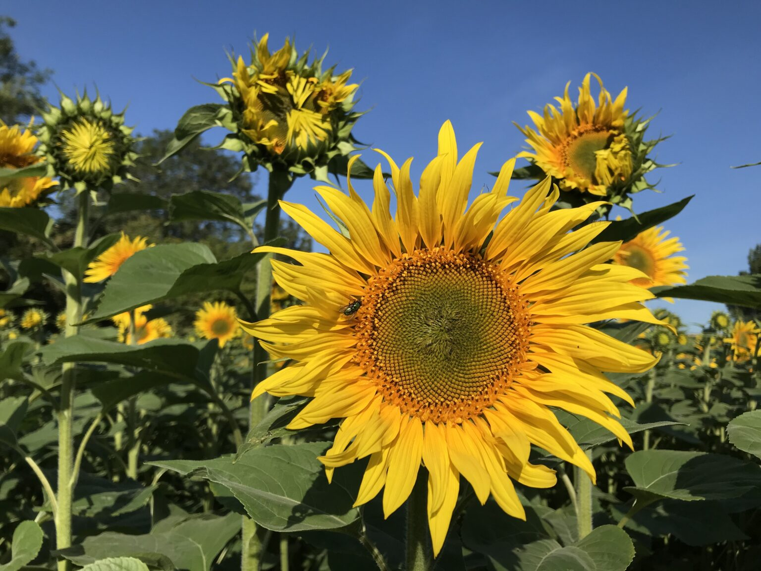 Perfect British grown sunflowers at Punchbowl Farm