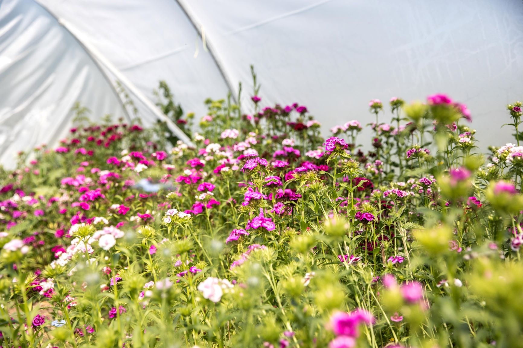 A beautiful crop of sweet williams in the polytunnel at Sweetpeas and Sunflowers