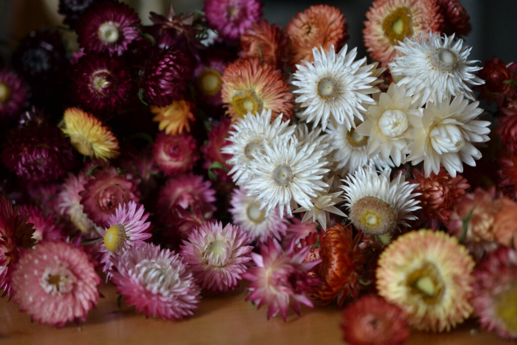 Dried strawflowers in many colours