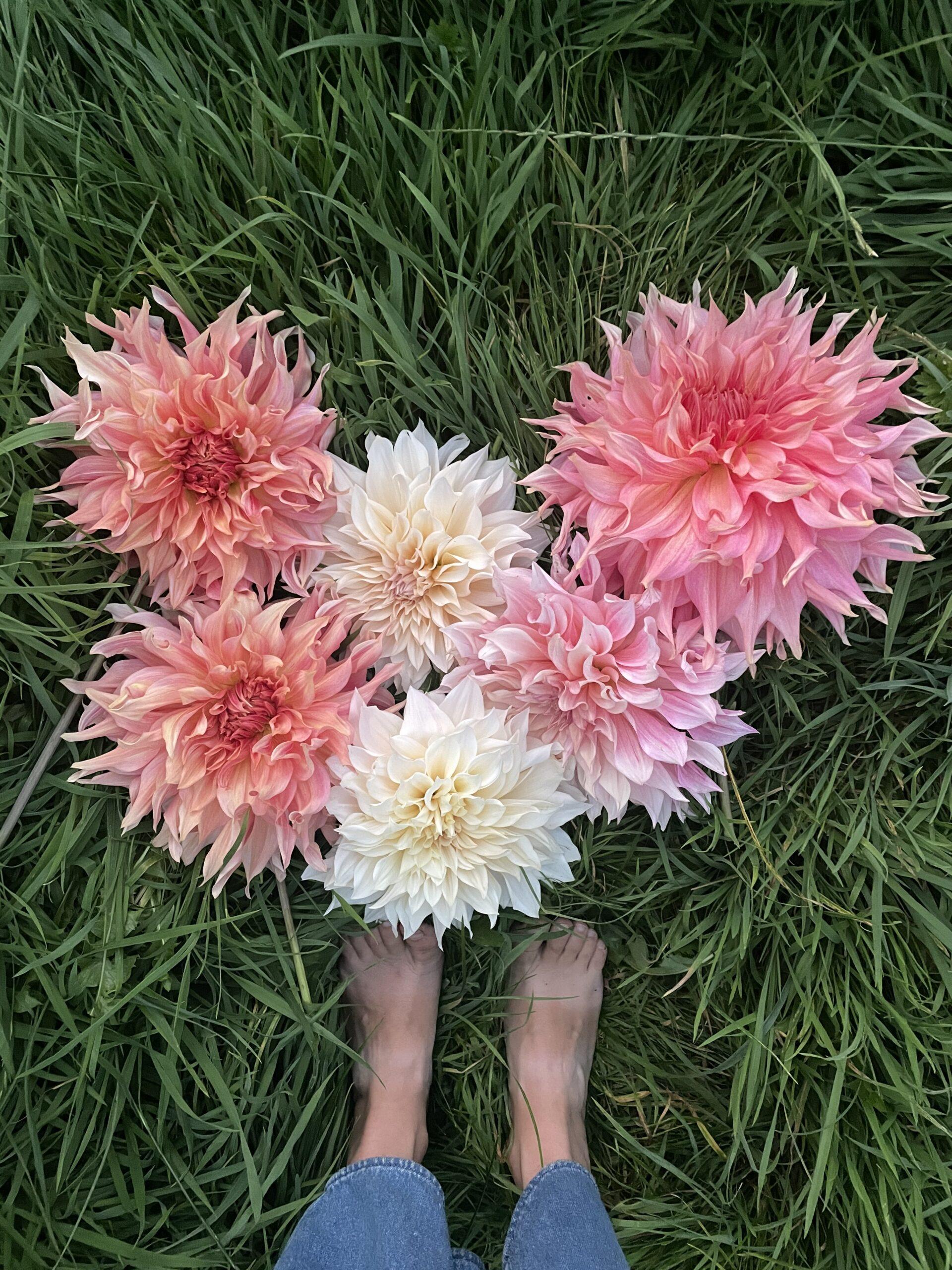 British grown dahlias harvested at Deadhead Flower Farm