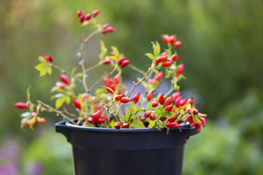 A bucket of red autumn reships